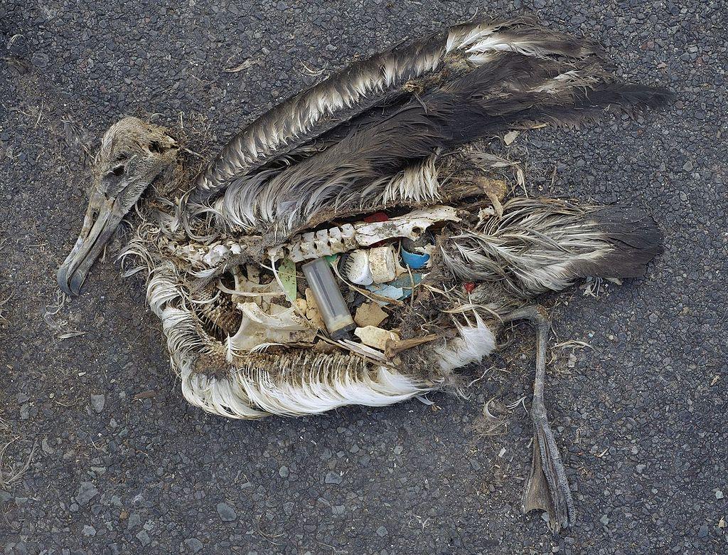 Totes Albatrosküken mit Plastik im Magen
